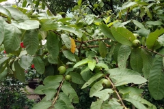Ashram Garden Fruit Trees4