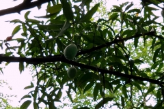 Ashram Garden Fruit Trees3