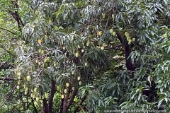 Ashram Garden Fruit Trees2